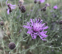 Spotted Knapweed 200x173 top ten