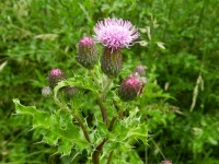 Canada thistle 200.150 top ten
