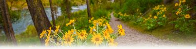 Arrowleaf Balsamroot by River